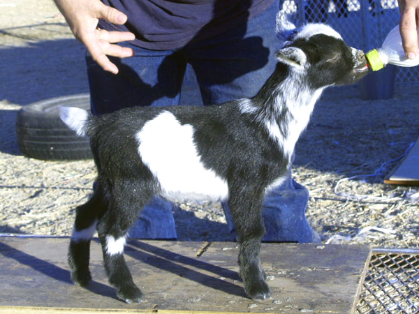black singles in inyokern Click the link for 2012 nursery  single doe born 3/18/11 to old mountain farm koritsi and sired by lil  cs - inyokern black pinto b13- sold - mg.